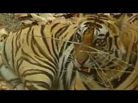 The story of the Indian tiger (Aired: October 2004)