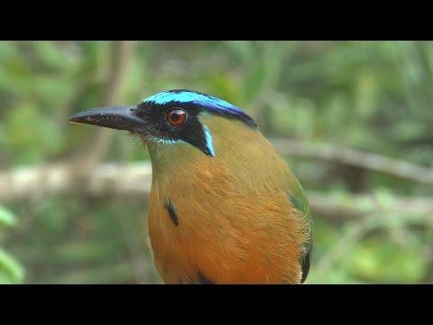 Belize birding Crystal paradise lodge