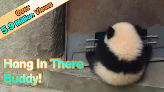 Panda baby hangs on door when it opens and has fun!