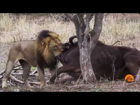 León macho, mata a búfalo