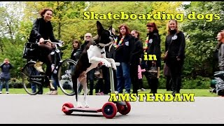 Skateboarding dogs scooting in Amsterdam