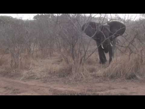 Wild Encounters - 200 meter Elephant Charge