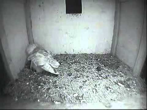 Egg #1 for Mrs CBO 2013-05-22-22h54m - THE BARN OWL TRUST