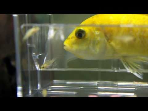 African Cichlid Fish Fry Release