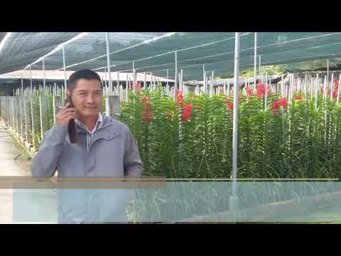 Thăm Vườn lan Mokara cắt cành ở Củ Chi - Big Mokara Orchids Garden