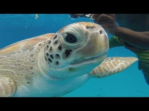 Swimming with sea turtles in Barbados