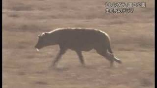 Peaceful Cheetah vs Crocodile