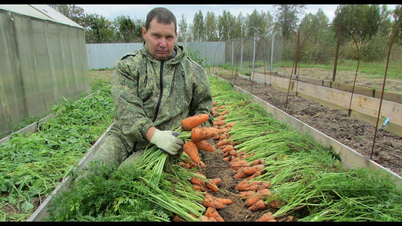 Сколько можно заработать на выращивание моркови