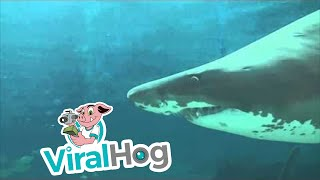 Sand Tiger Shark runs wild at an aquarium