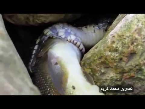 Amazing Snake prey on fish أفعى تفترس سمكة مقطع فريد ونادر