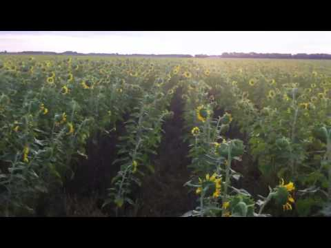 Sunflowers newton kansas
