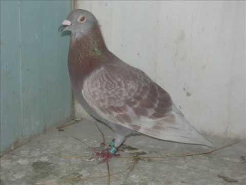 OLIMPIAS pigeon FOR SALE A Poznan-i Olimpián Maraton távon 19.hely!!!