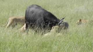 Attaque d'un buffle par des lionnes KENYA (Attack of a buffalo by lionesses)