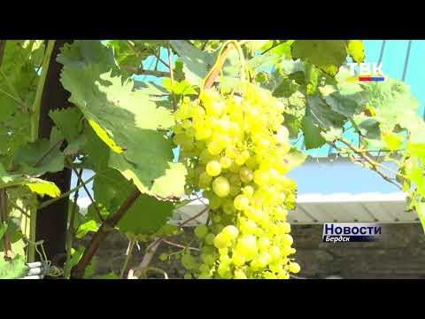 142 сорта винограда на двадцати сотках выращивает бердчанин Анатолий СидорОвич