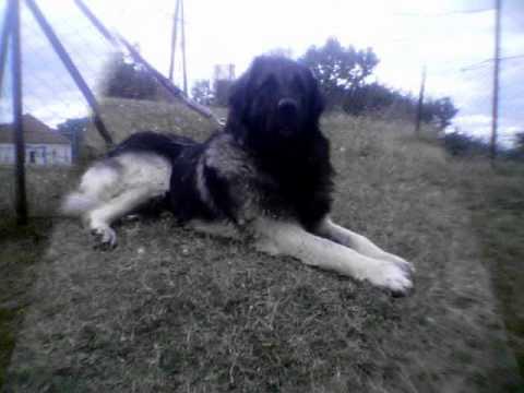 qeni i sharrit-Llovca Rambo