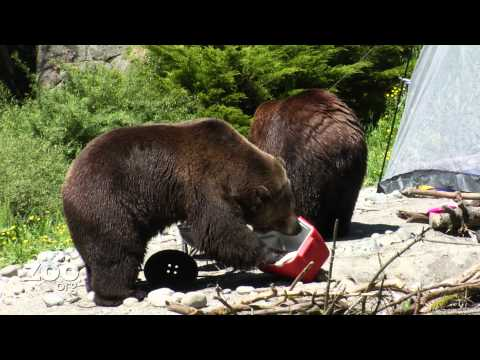 Grizzly Bears Rearrange Campsite