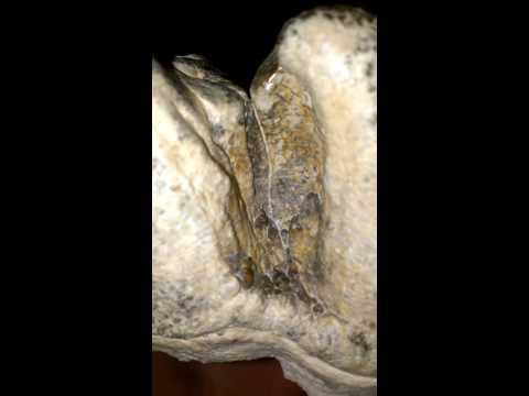 Platybelodon molar 2014