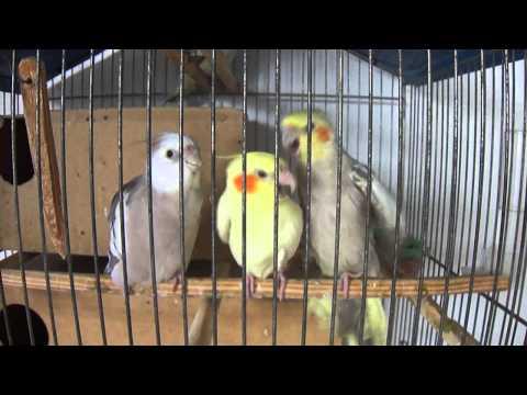 2 calopsitas macho querendo a fêmea