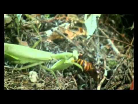 Hornet Vs Praying Mantis Giant Hornet vs...