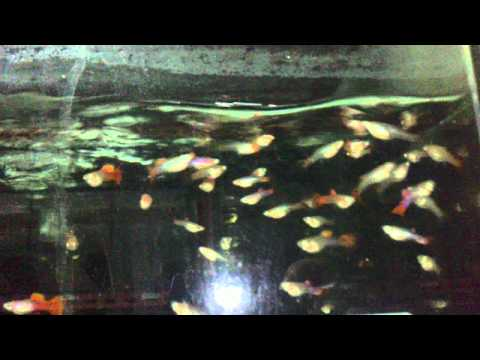 HD Ornamental Fish (Poecilia reticulata)Breeding Workshop from Kingdom of Beetle Taiwan.MP4