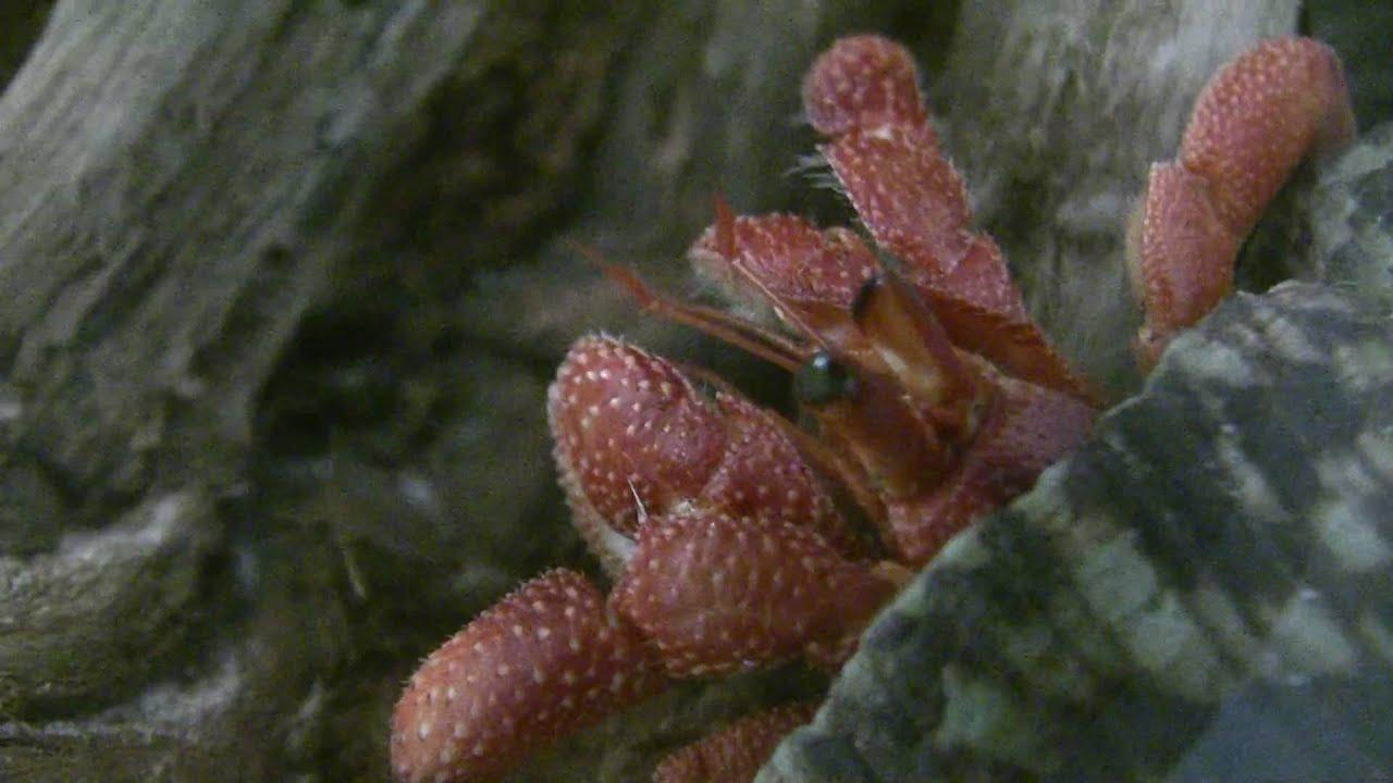 Hermit Crab Molt Hermit Crabs - Straw A...