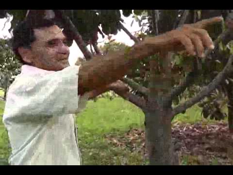 castanha da india atalaia parte 01