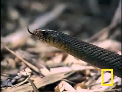 Hổ mang chúa ăn rắn đuôi chuông