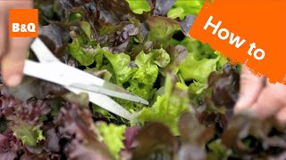How To Grow & Harvest Salad Leaves