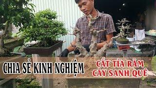 Chia sẻ cách cắt tỉa răm chi tiết một cây sanh quê