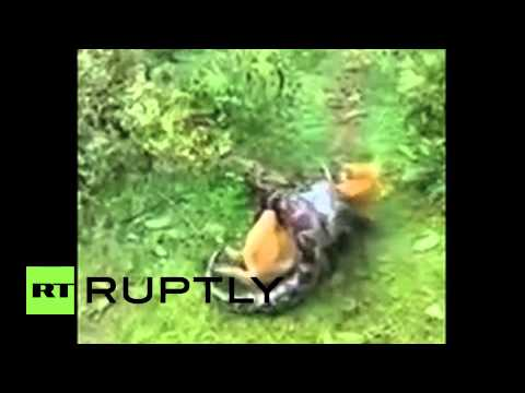 India: AMAZING footage shows dog escape python's DEATH GRIP