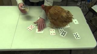 Yanick Dion de l'Art au Poil apprend à une poule à discriminer le Joker