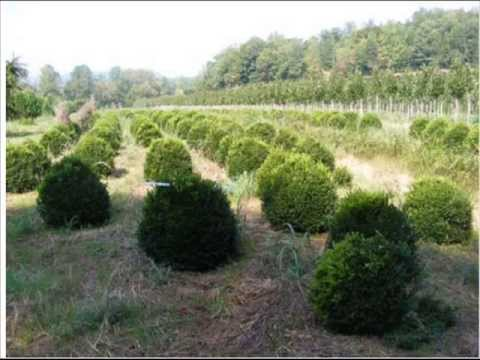 Deer Resistant Boxwood  we grow in Doylestown