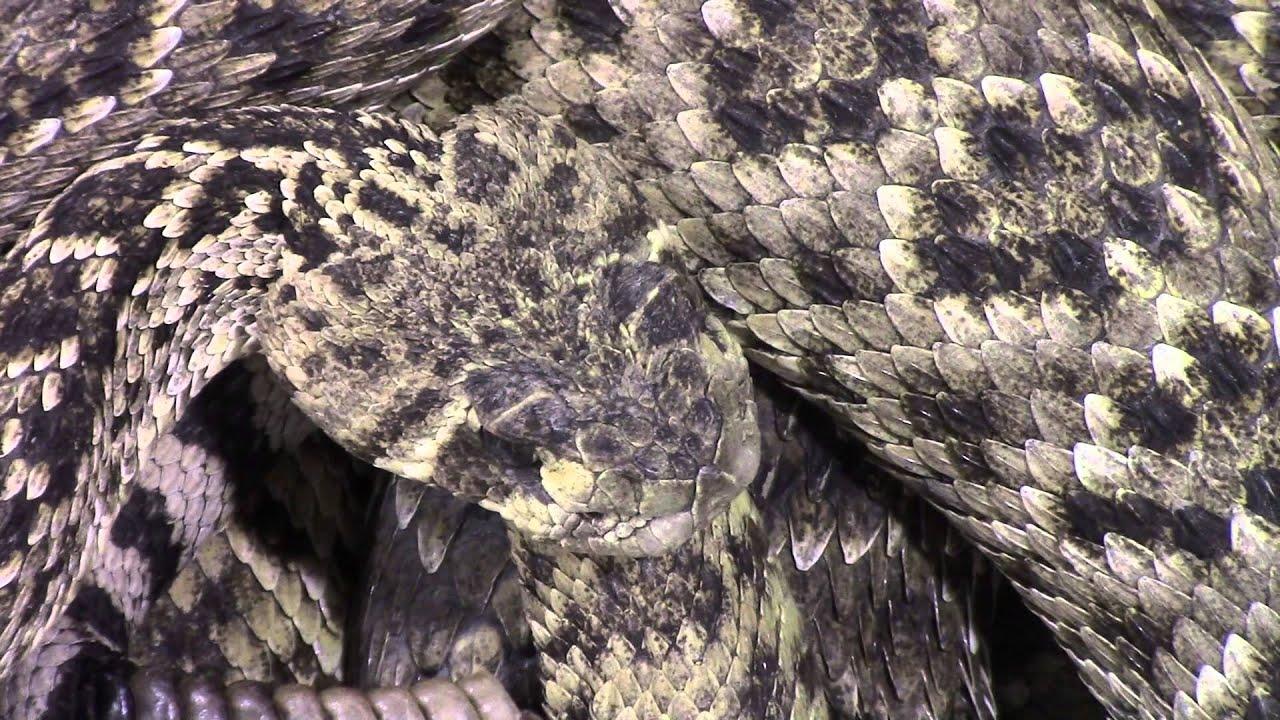 World Record Rattlesnake