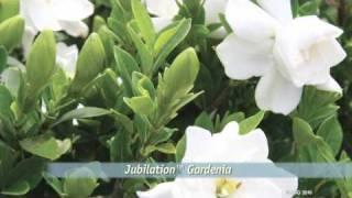 Jubilation™ Gardenia   YouTube