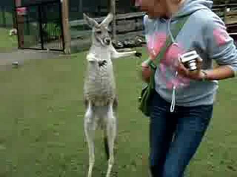 Kada se kengur iznervira