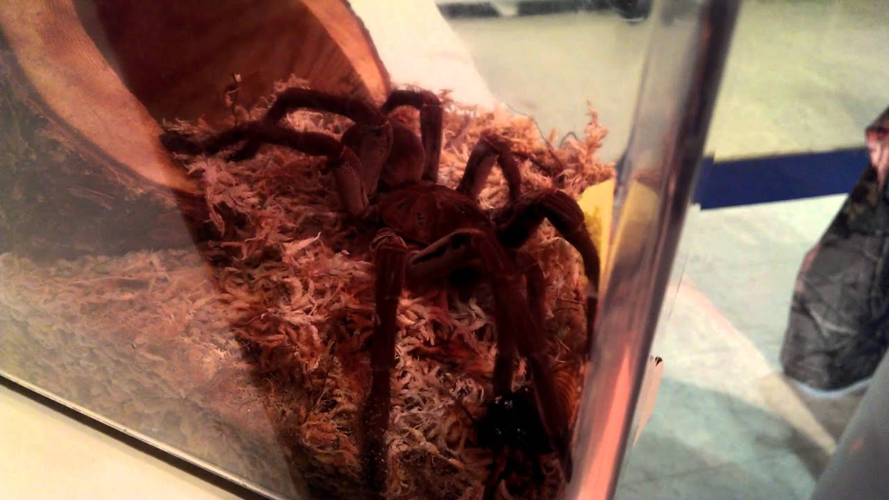 Goliath bird eating spider and hissing cockroach youtube
