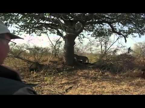 Báo đốm đực và linh cẩu tranh mồi