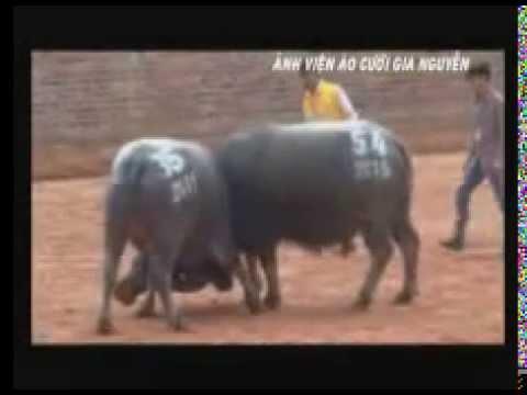 chọi trâu chiêm hóa 2015 phần 1 ( video do ẢNH VIỆN GIA NGUYỄN sưu tầm từ ban tổ chức)