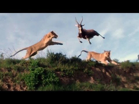 Thumbnail of video Leaping Lion Catches Antelope In Mid-Air Attack