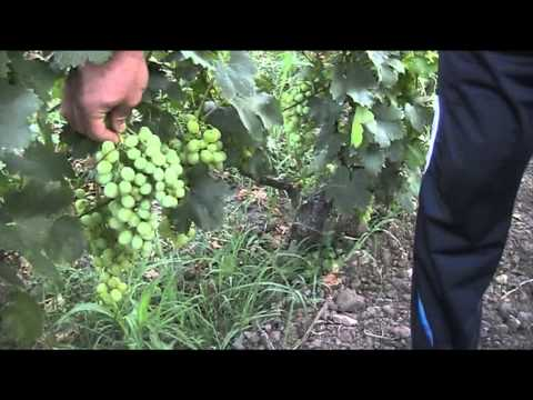Butasi vita de vie, material saditor viticol, vin , struguri, vie