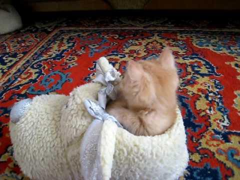 This British Shorthair Kitten Falls Asleep In The