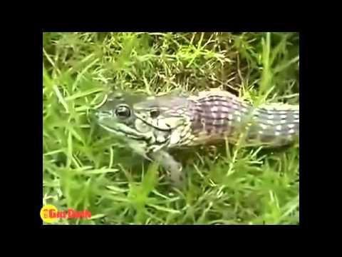 Chú ếch thoát chết thần kì khi đã bị nuốt vào miệng rắn