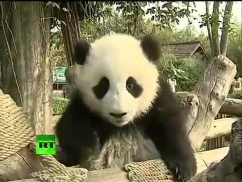 Những chú Panda tinh nghịch
