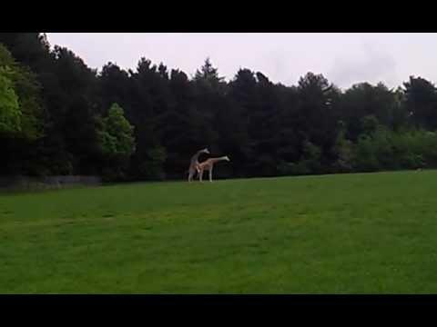 Duży problem żyrafy