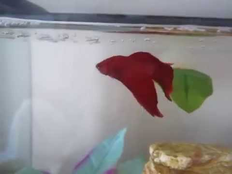 How to teach your Betta 4 different tricks