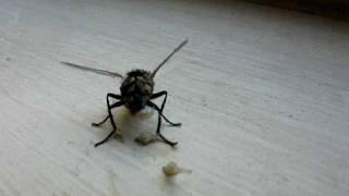 Housefly Birthing Maggots