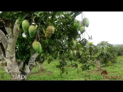 Mango - Organically Grown @ MK Orchard