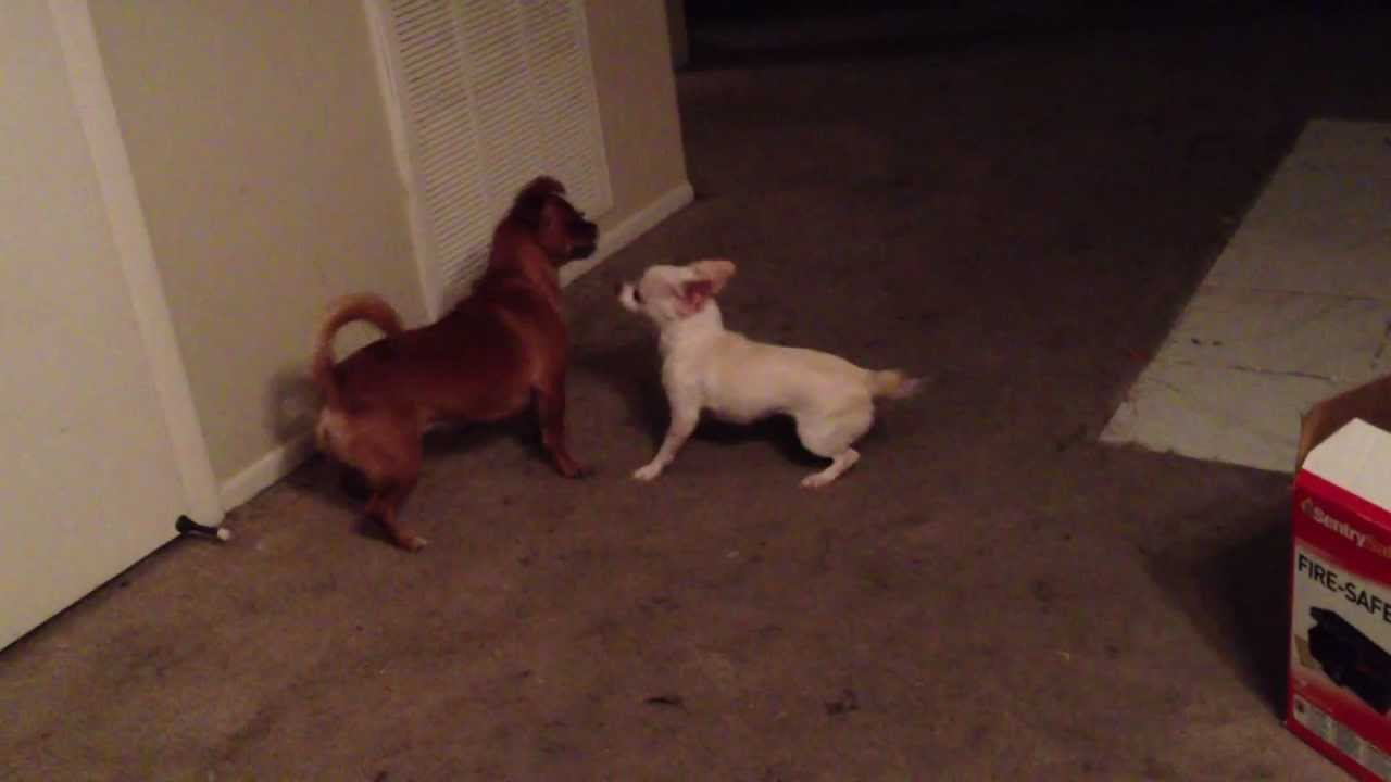 ... - Sausage and Weenie Play Fighting (Chihuahua and Pug Mix) - YouTube