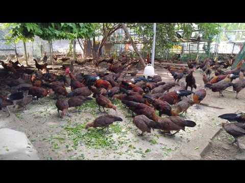 Gà rừng thuần chủng tại Trại Gà Rừng Việt - Vietnamese Jungle Fowl