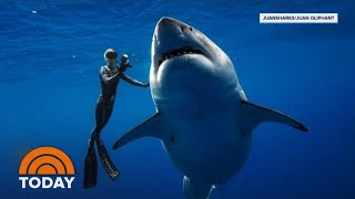 Hawaii Diver Swims With Record Breaking Largest Great White Shark   TODAY